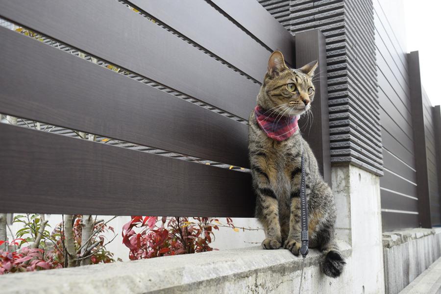 リードが外れて一安心のキジトラ猫の虎ノ介
