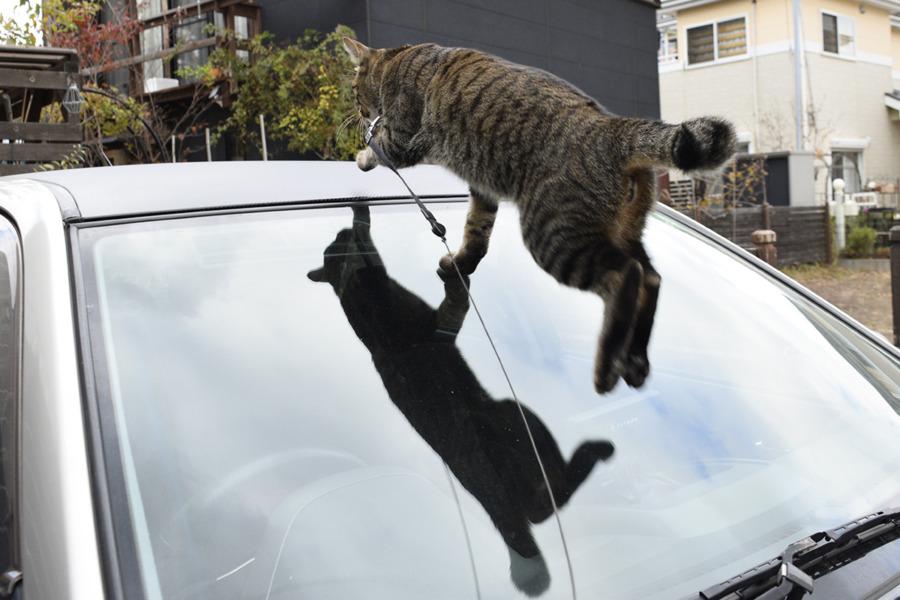 車の上に登るキジトラ猫の虎ノ介