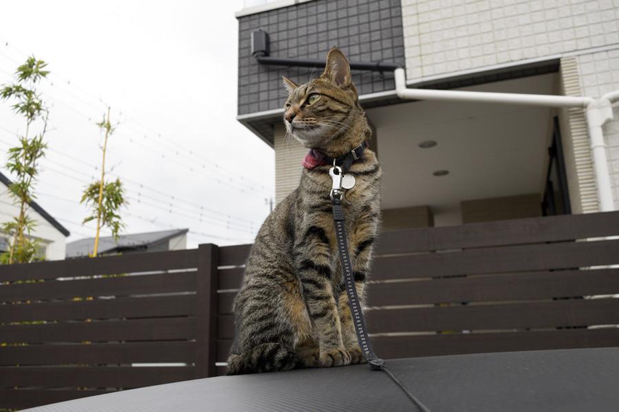 車の上で気分を落ち着かせるキジトラ猫の虎ノ介