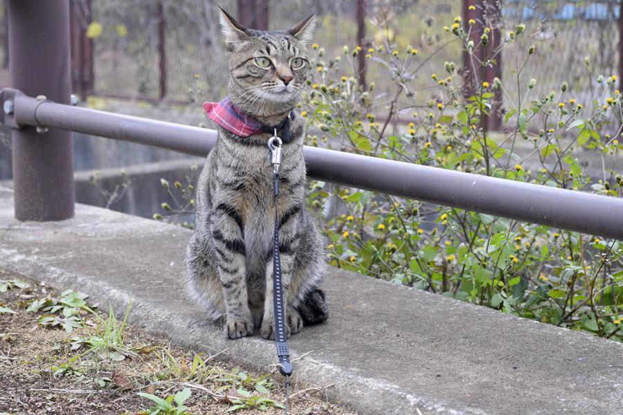 落ち着きを取り戻したキジトラ猫の虎ノ介