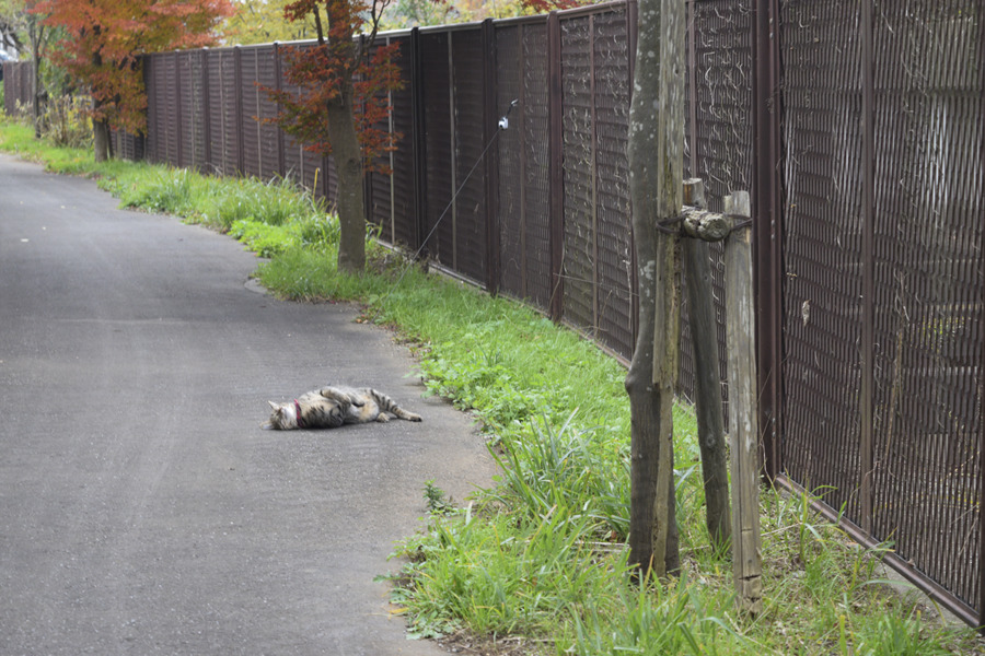 道端でゴロンゴローンするキジトラ猫の虎ノ介