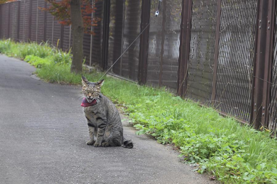 人間に向かって叫ぶキジトラ猫の虎ノ介
