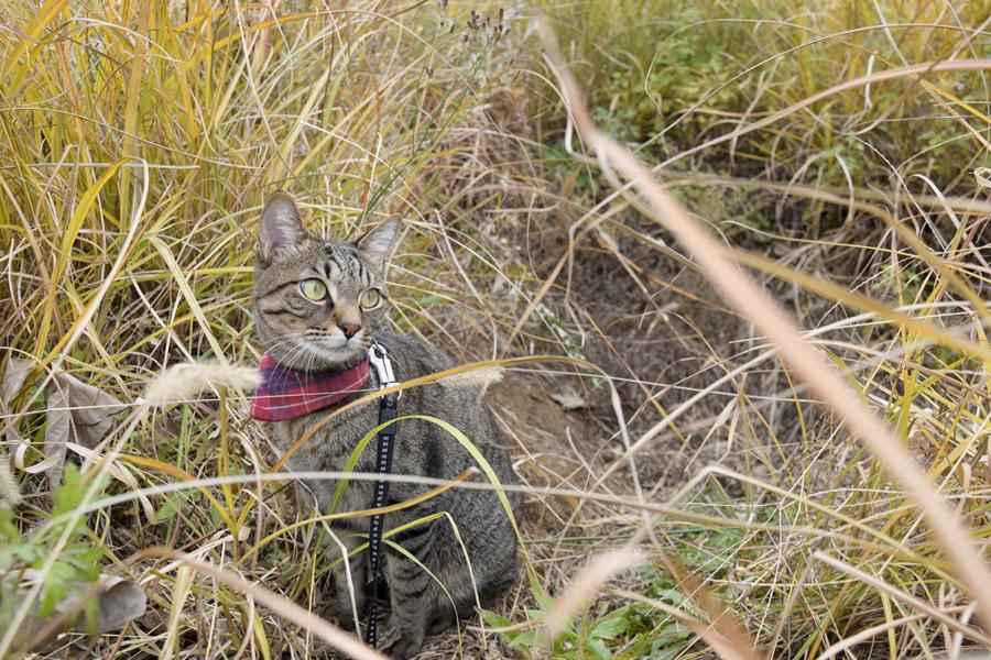 草むらで視線を感じたキジトラ猫の虎ノ介