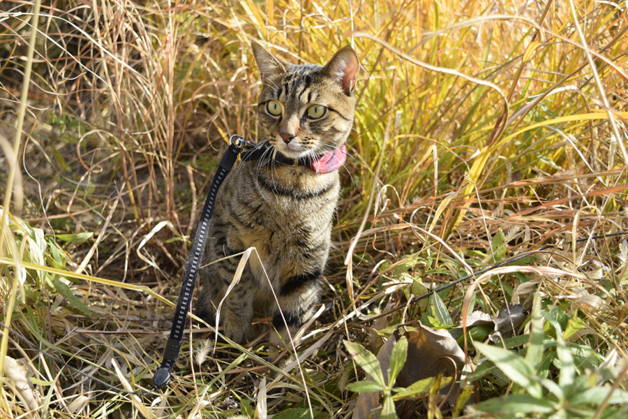 草むらで鳥を眺めるキジトラ猫の虎ノ介
