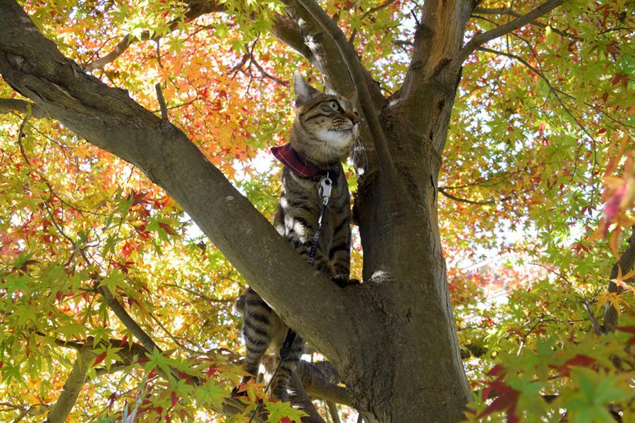 紅葉の中から鳥をみるキジトラ猫の虎ノ介