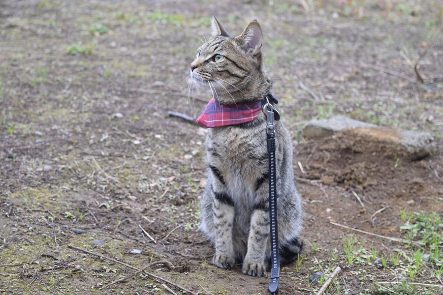 小雨の中散歩にでるキジトラ猫の虎ノ介