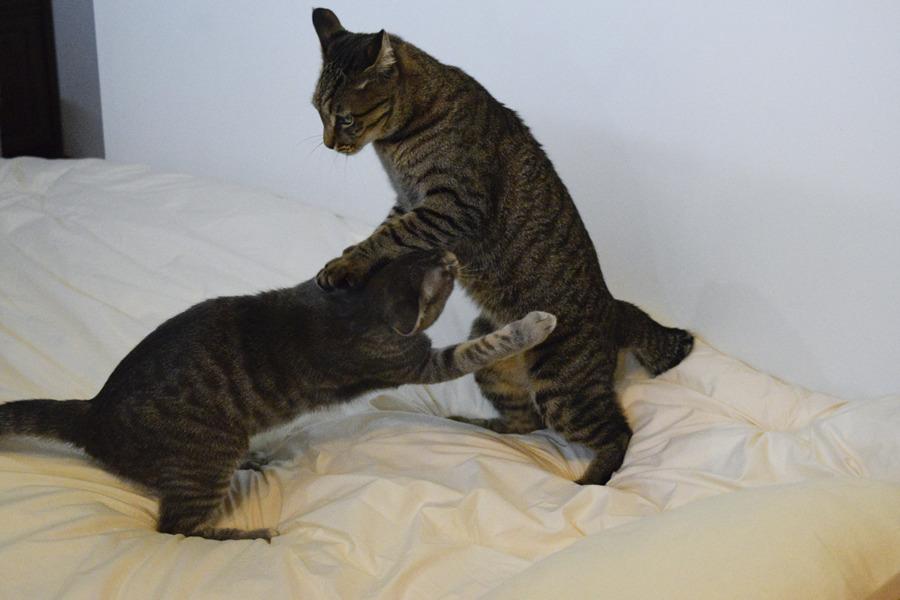 キジトラ猫の虎ノ介とじゃれるサバトラ猫の春太