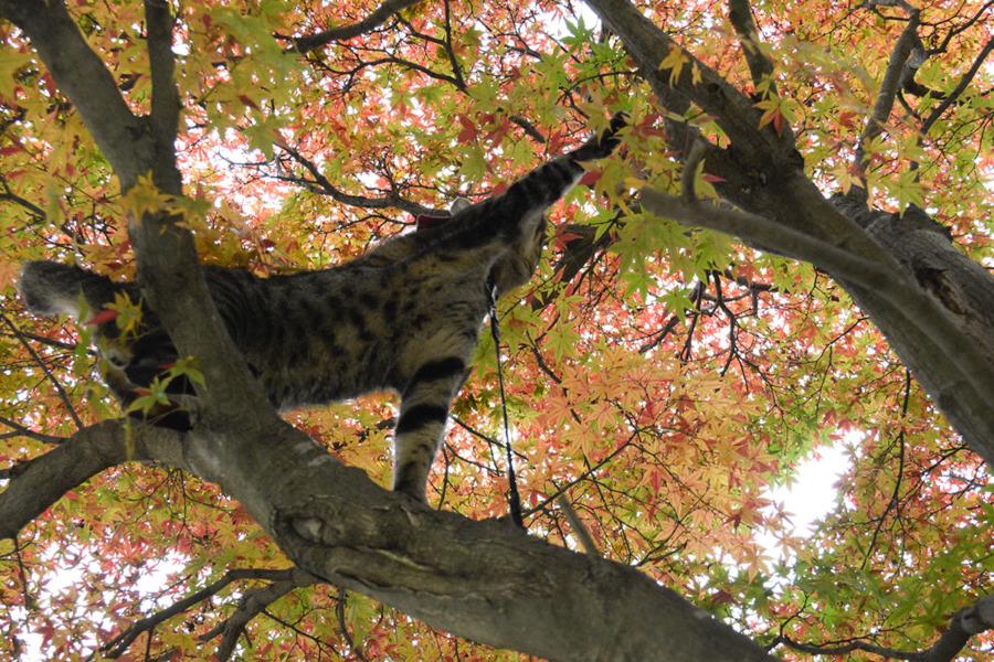 動揺するキジトラ猫の虎ノ介