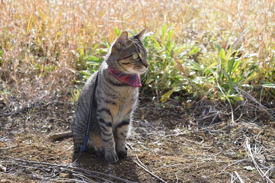 草むらに鳥を探しに行くキジトラ猫の虎ノ介