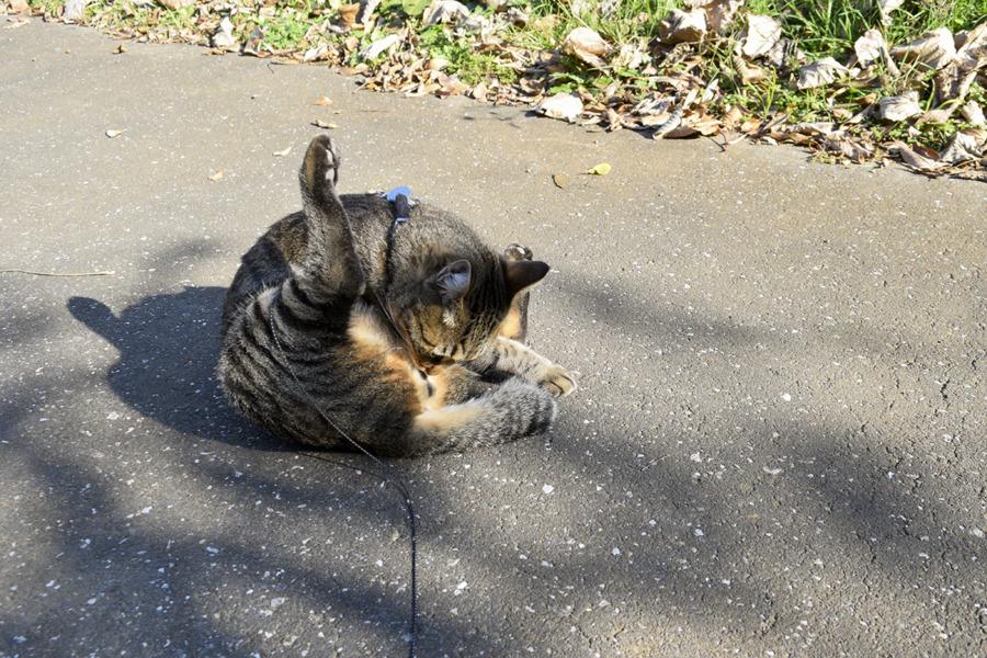 毛づくろいをするキジトラ猫の虎ノ介