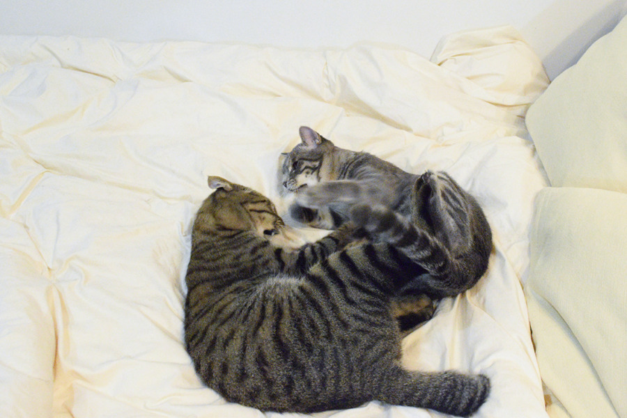 嫌がるキジトラ猫の虎ノ介にじゃれつくサバトラ猫の春太