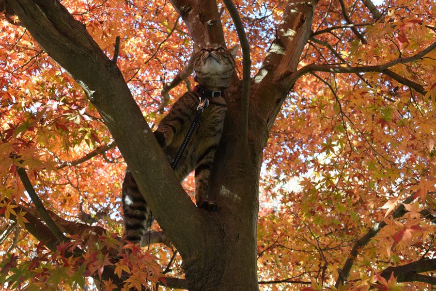 木登りするキジトラ猫の虎ノ介