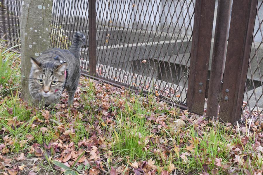 人間に飛びつくキジトラ猫の虎ノ介