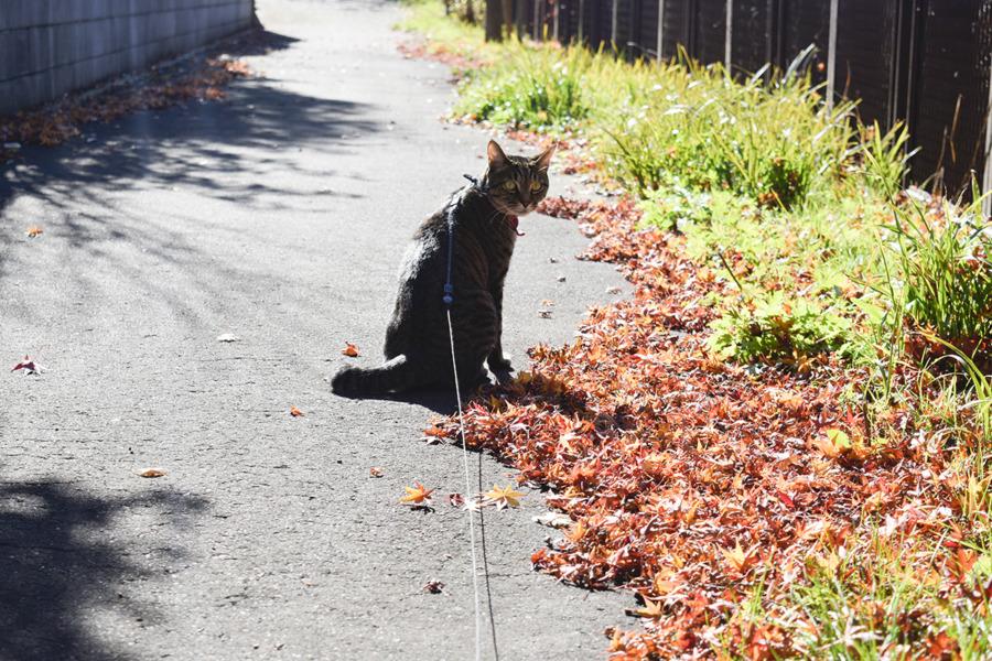 散歩を始めるキジトラ猫の虎ノ介
