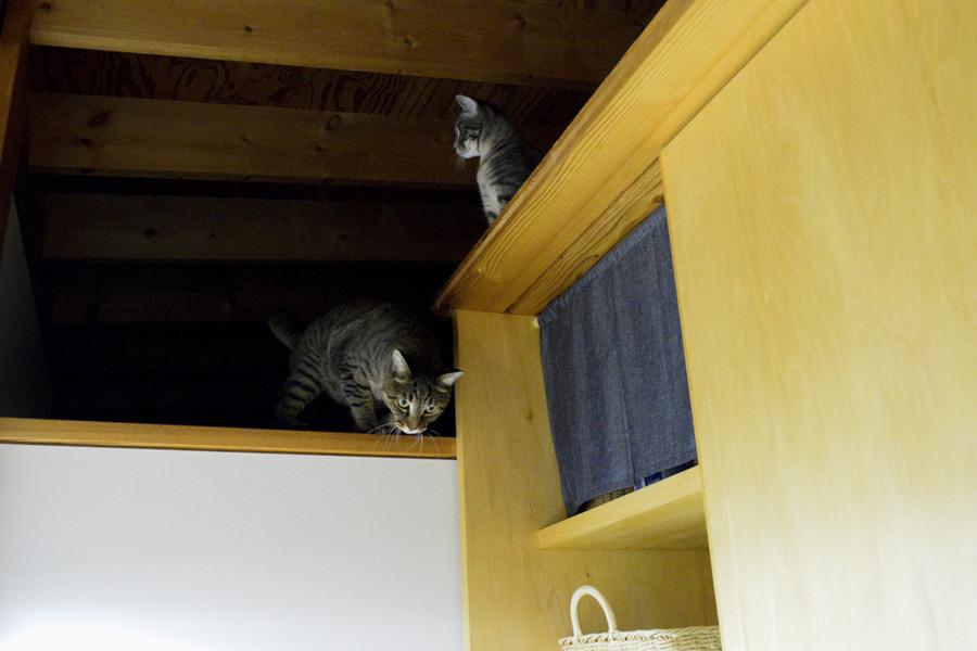 脱衣場への侵入を試みるキジトラ猫の虎ノ介とサバトラ猫の春太