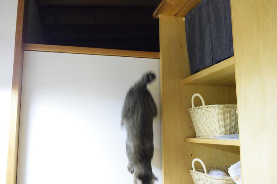 脱衣所へ侵入するキジトラ猫の虎ノ介