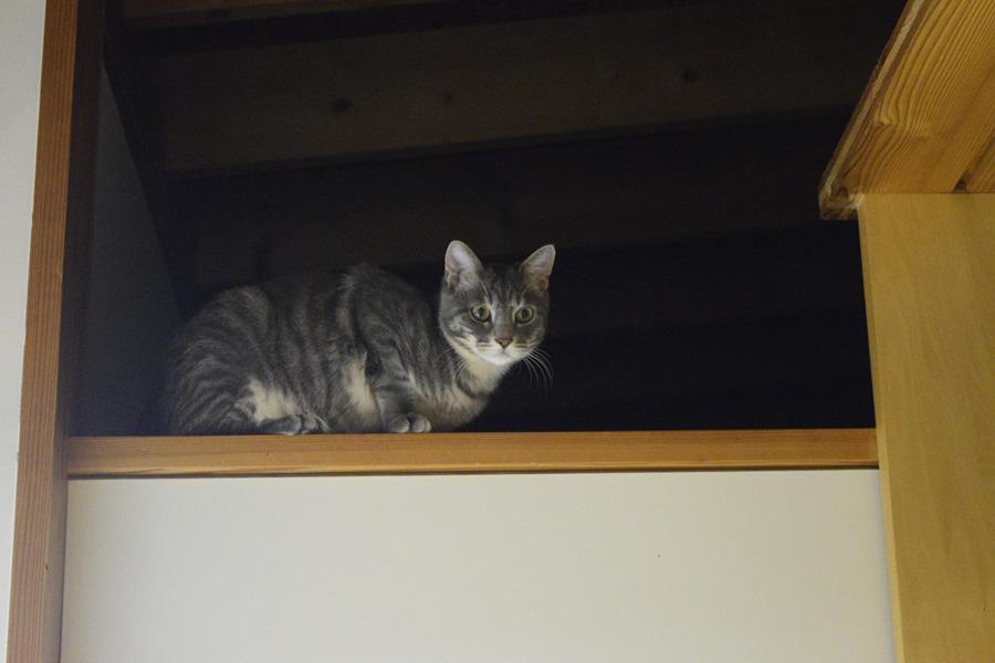 脱衣所へ降りられずに扉の上で待つサバトラ猫の春太