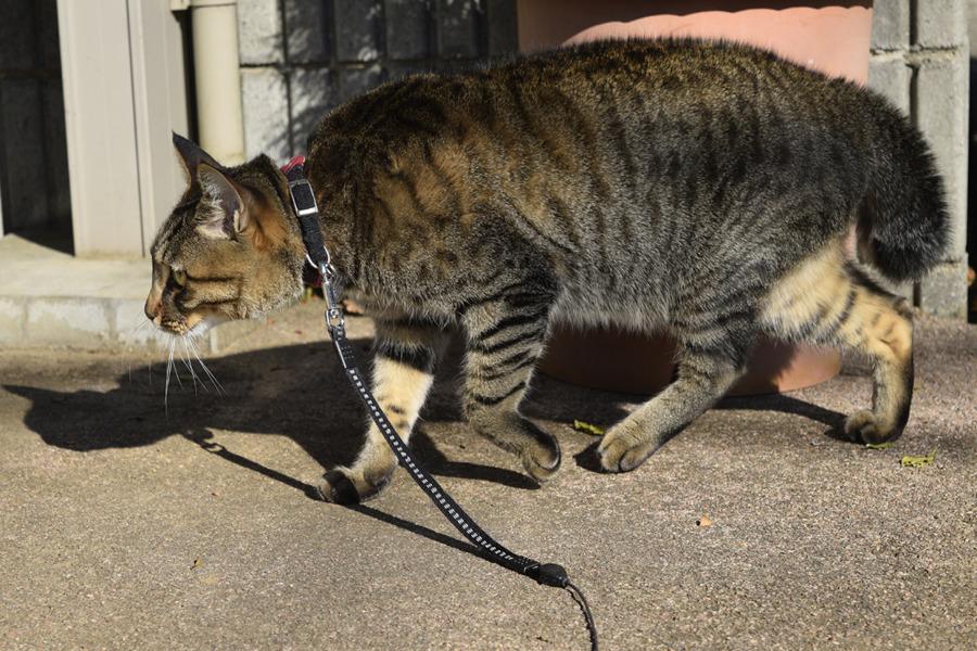 野良猫を追うキジトラ猫の虎ノ介