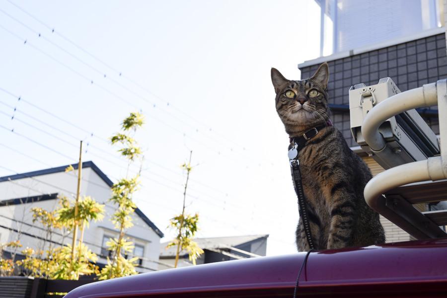車の上に登ったキジトラ猫の虎ノ介