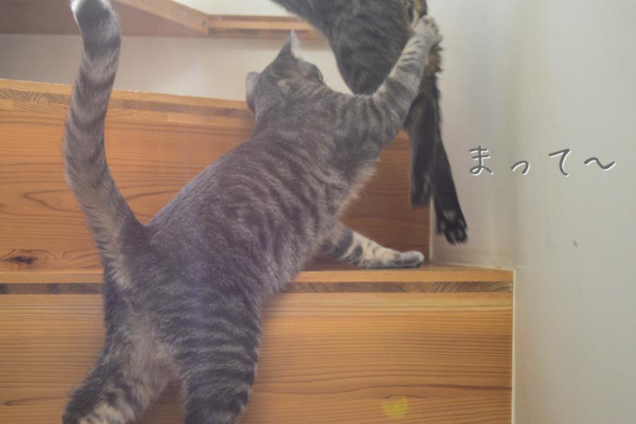 虎ノ介にじゃれつくサバトラ猫の春太