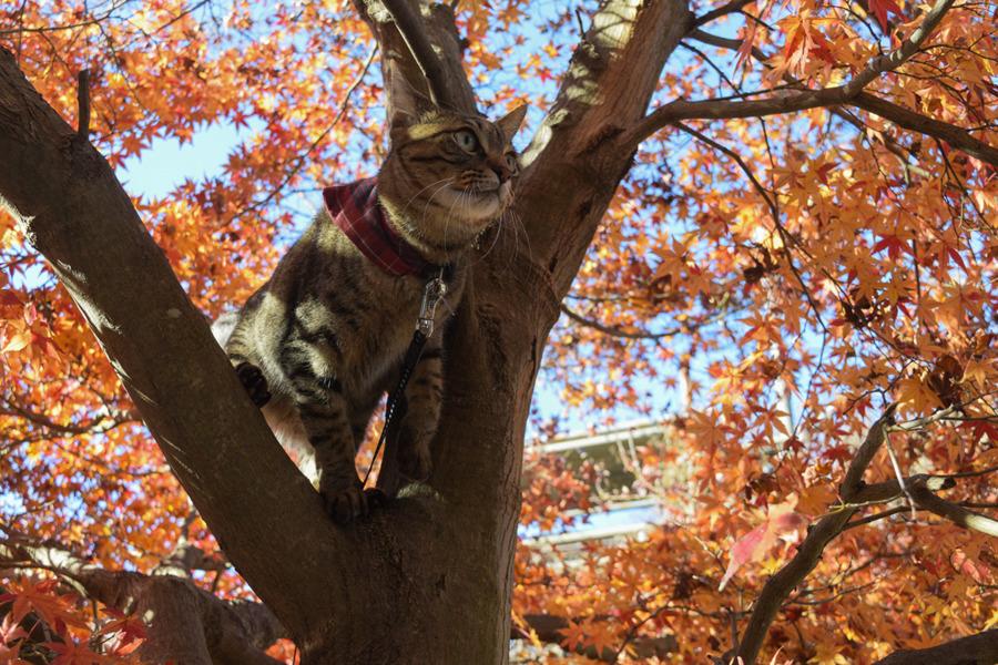 木に登って様子をうかがうキジトラ猫の虎ノ介