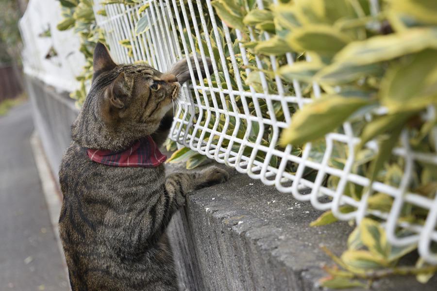 フェンスの向こうの鳥に手を伸ばすキジトラ猫の虎ノ介