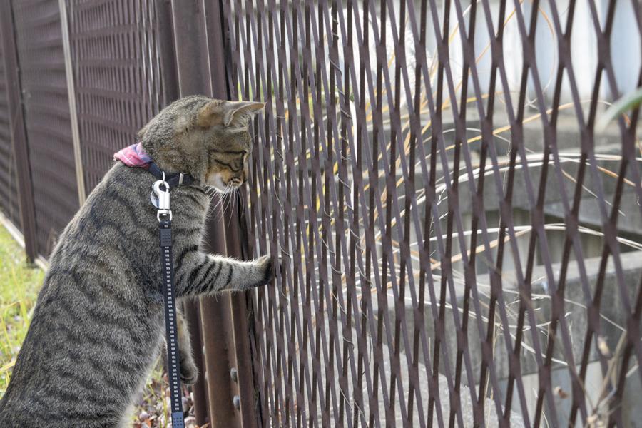 水浴びをしている鳥をみつめるキジトラ猫の虎ノ介