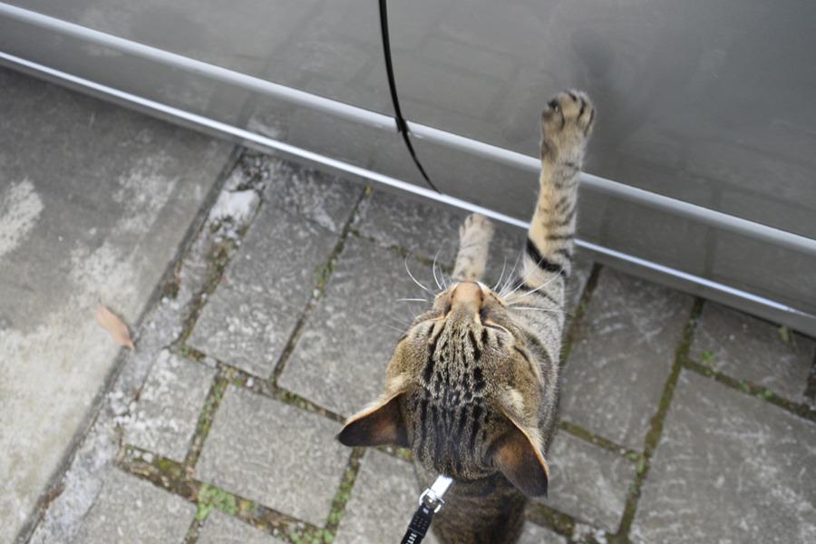 車に入りたがるキジトラ猫の虎ノ介