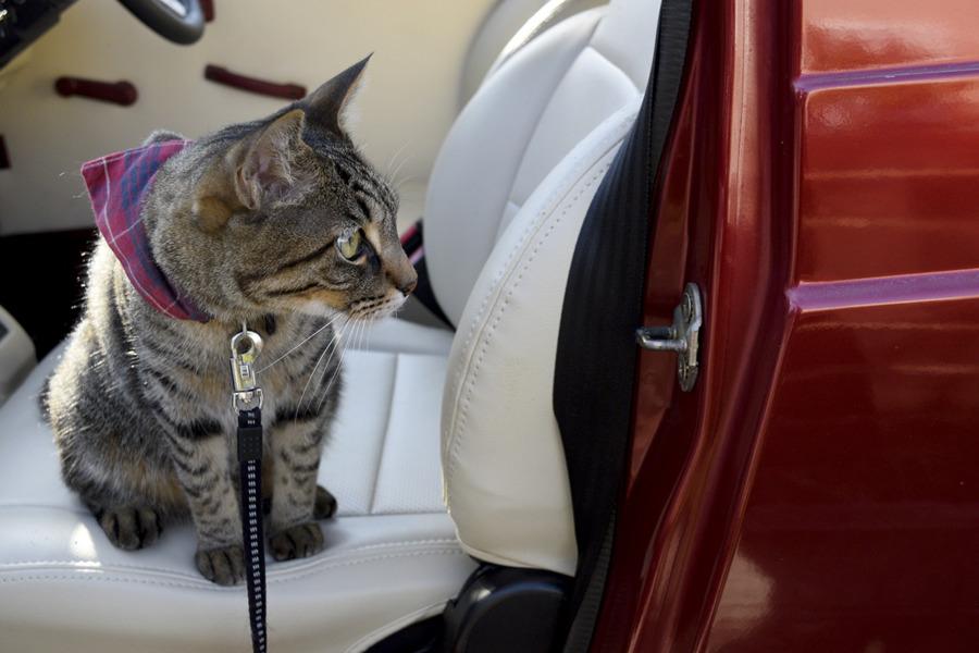 車の中から外の様子をうかがうキジトラ猫の虎ノ介