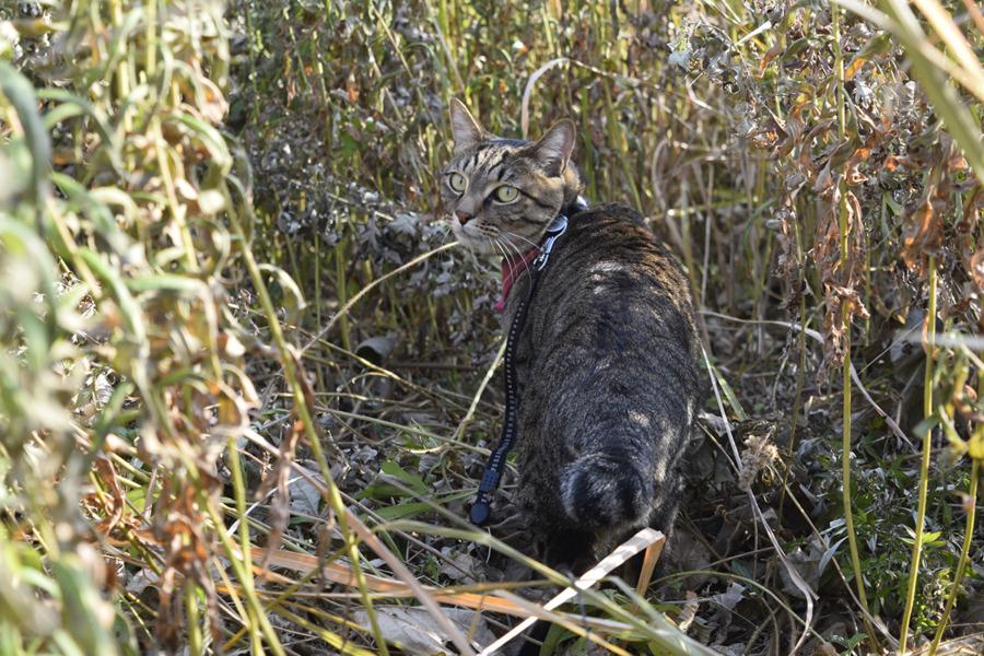 草むらの中を進むキジトラ猫の虎ノ介