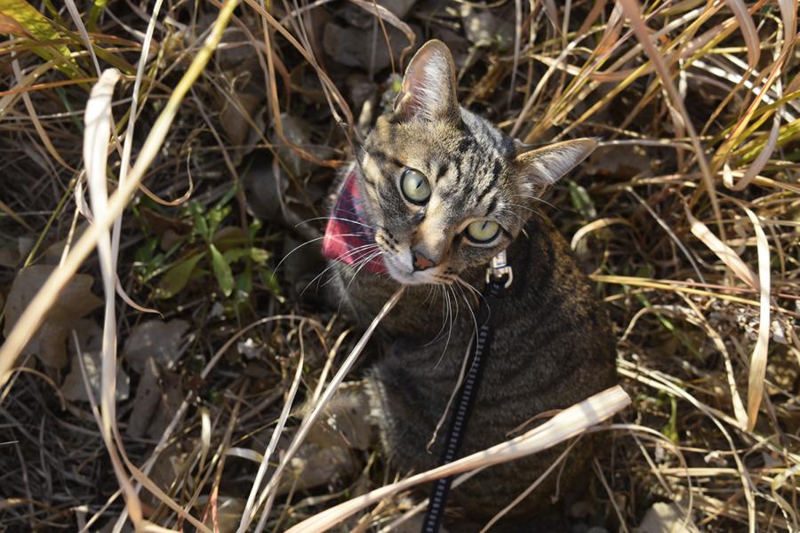 草むらの中で進路を見失うキジトラ猫の虎ノ介