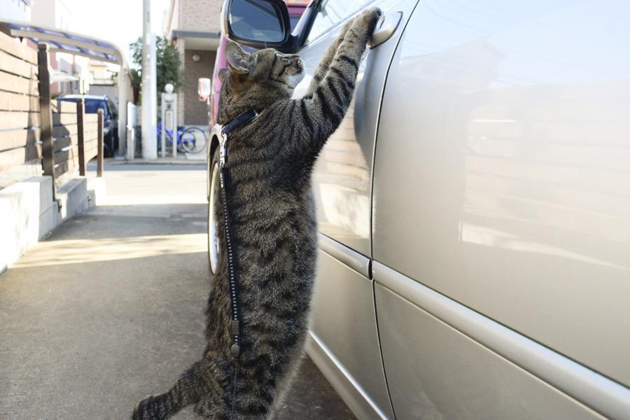 車に乗りたがるキジトラ猫の虎ノ介