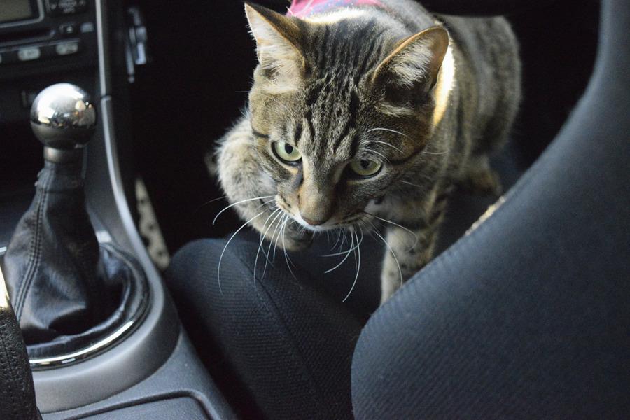 車の中をチェックするキジトラ猫の虎ノ介