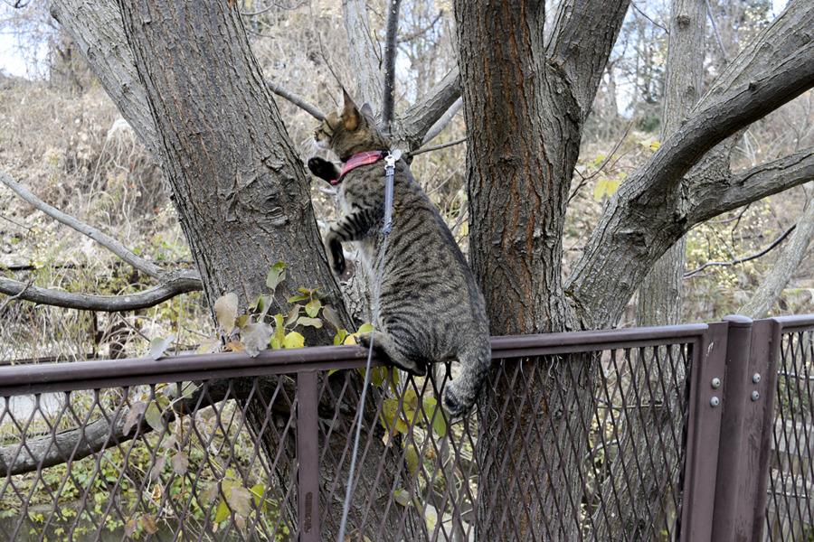 フェンスに飛び乗るキジトラ猫の虎ノ介