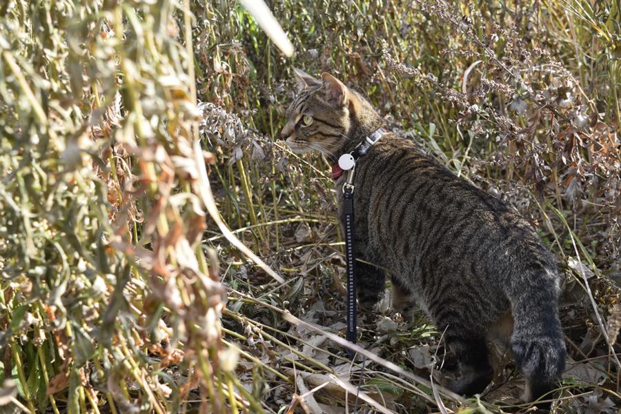 草むらで鳥をさがすキジトラ猫の虎ノ介