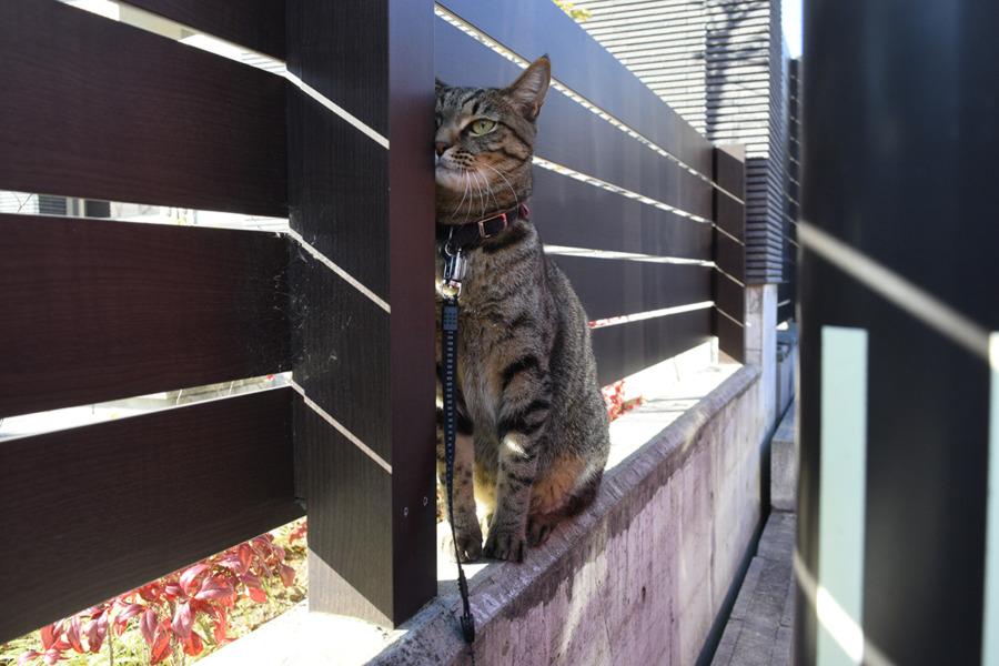 小学生を発見したキジトラ猫の虎ノ介