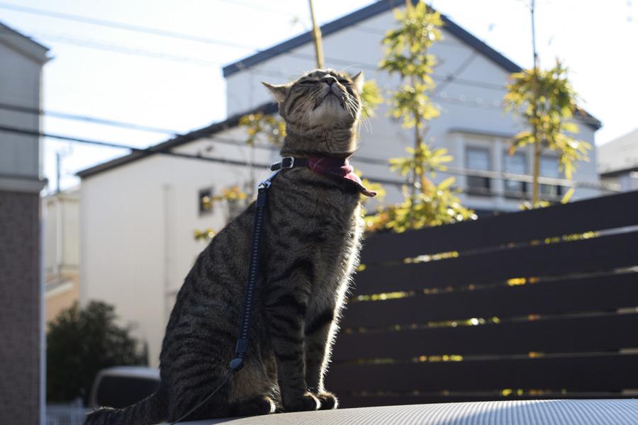 外の空気を吸い込むキジトラ猫の虎ノ介