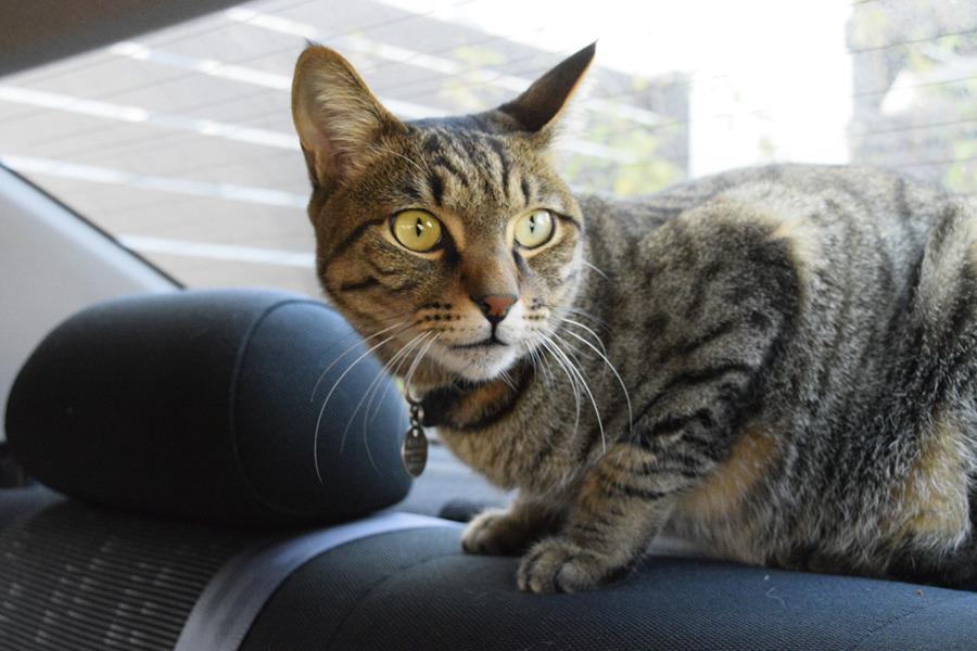 車の中から小学生をみるキジトラ猫の虎ノ介
