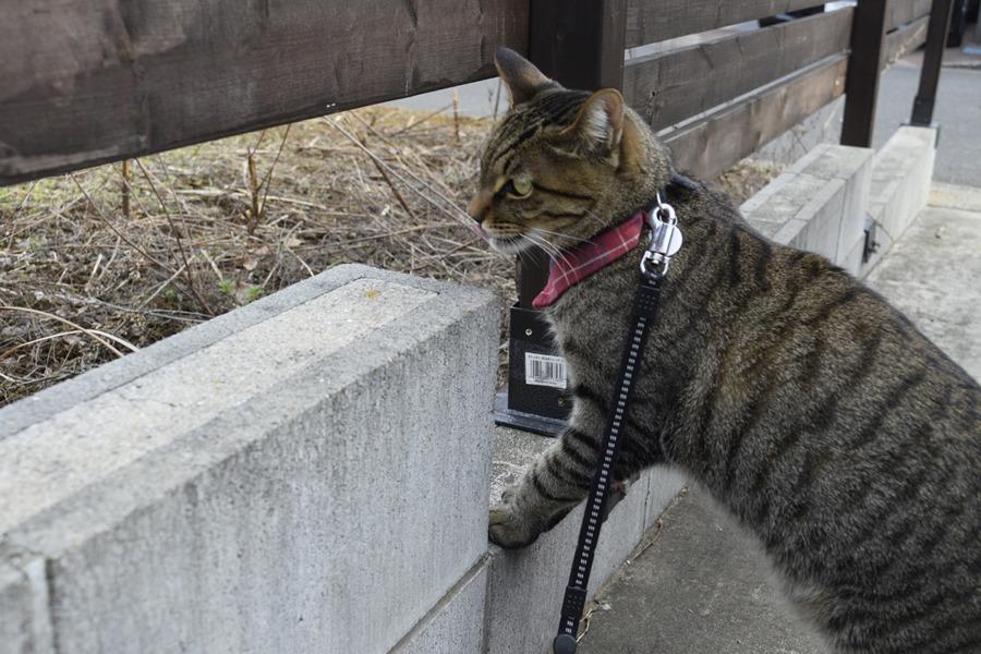 驚いて家まで逃げたキジトラ猫の虎ノ介