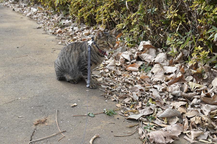鳥さんをみつけたキジトラ猫の虎ノ介