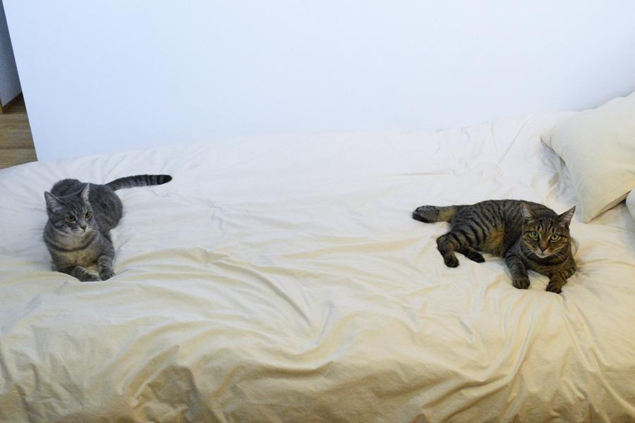 距離をとるキジトラ猫の虎ノ介とサバトラ猫の春太