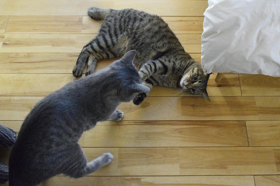 春太とじゃれるキジトラ猫の虎ノ介
