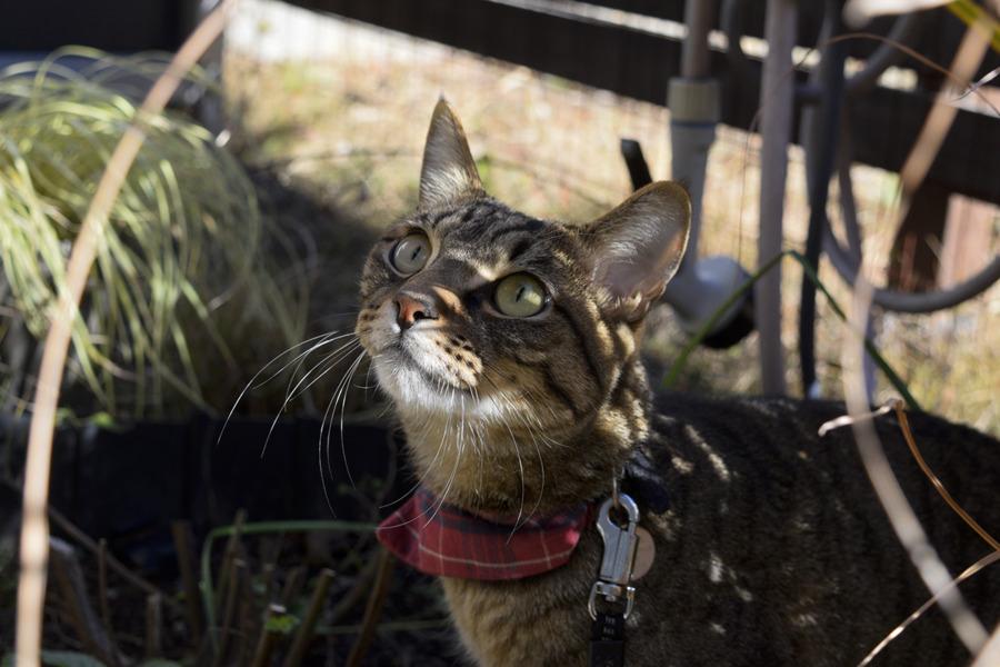 春太を見上げるキジトラ猫の虎ノ介