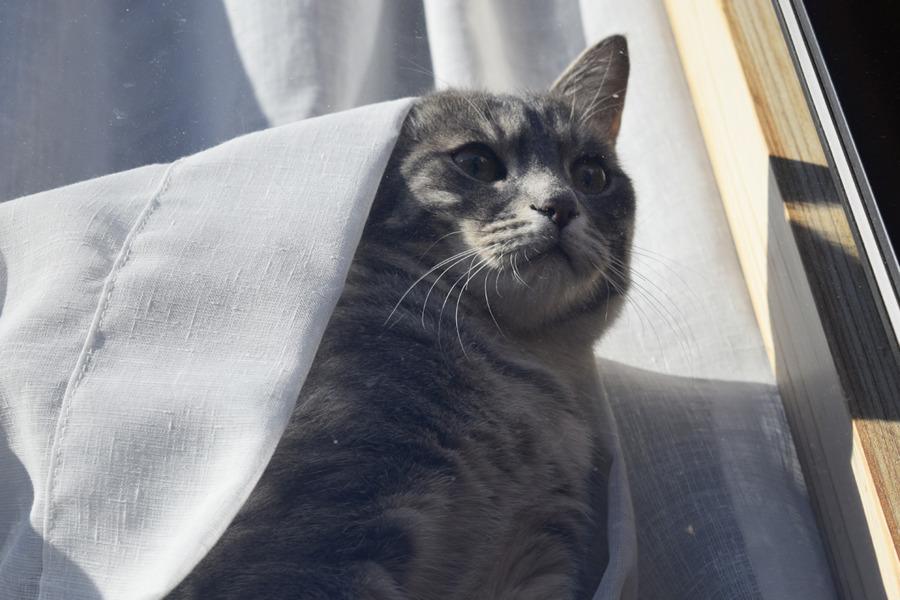 虎を見下ろすサバトラ猫の春太