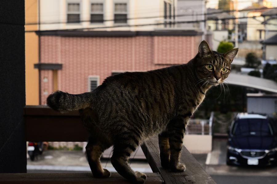 夕焼けをみるキジトラ猫の虎ノ介
