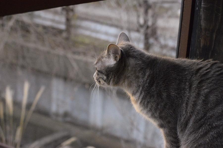 夕焼けをみるサバトラ猫の春太
