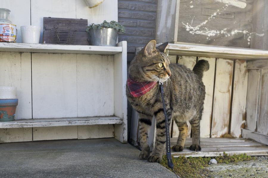 虎之助くんの家の前をパトロールするキジトラ猫の虎ノ介