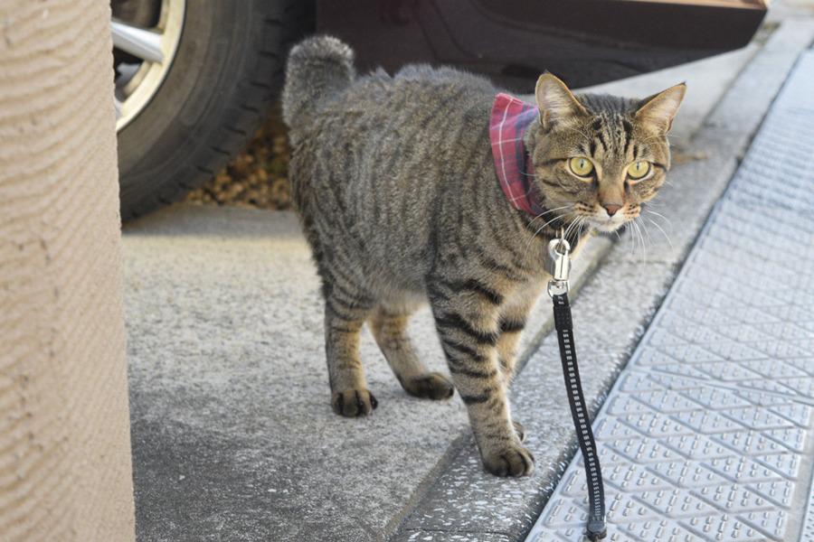 虎之助くんを眺めるキジトラ猫の虎ノ介