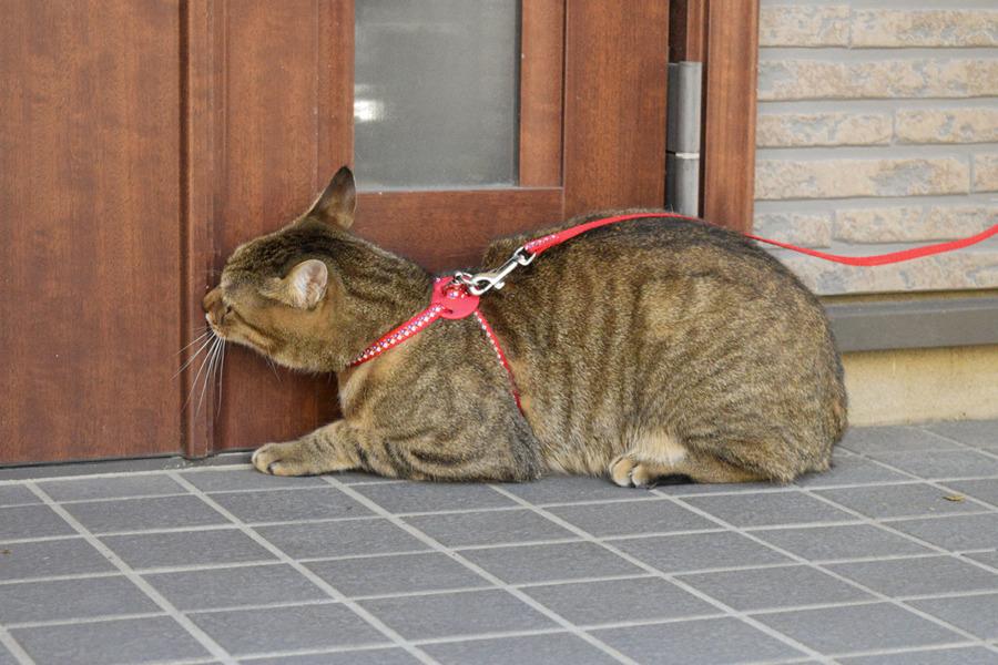 玄関で家の中に入りたがっている虎之助くん