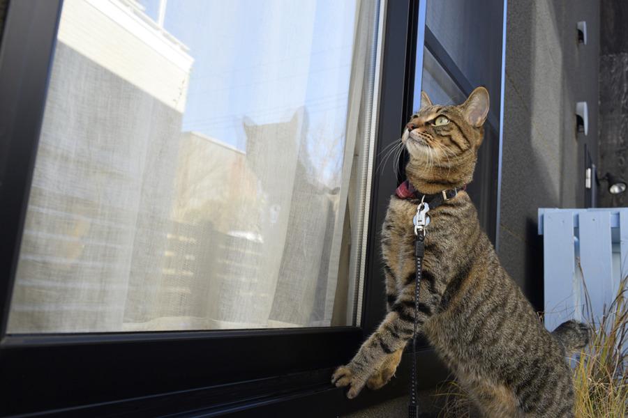 窓ガラスをチェックするキジトラ猫の虎ノ介